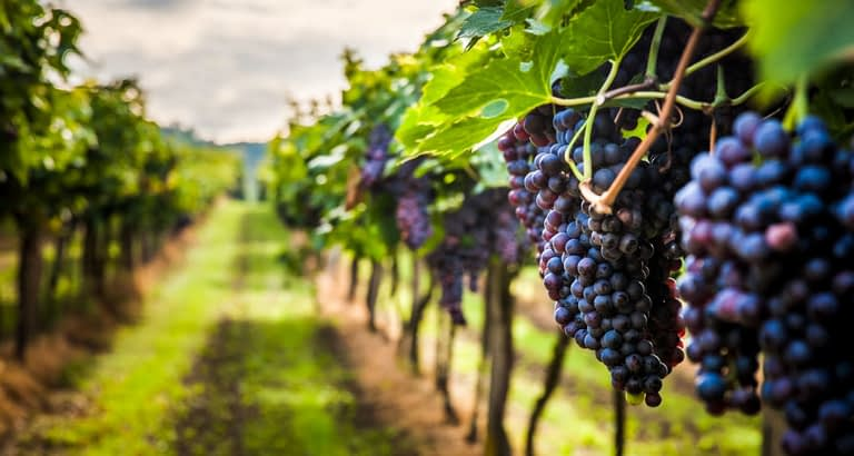 wine grapes ready to pick